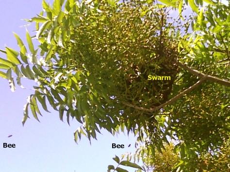 BeeSwarm1